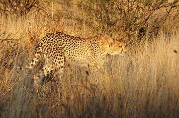 Jagende Cheetah in de Kalahari woestijn van Job Moerland
