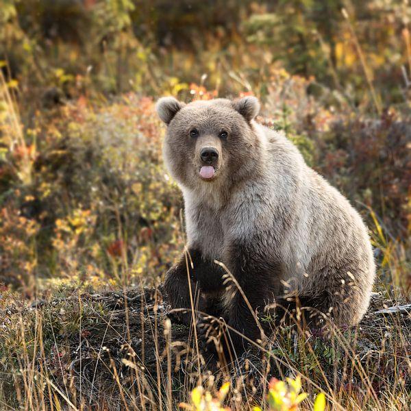 Grizzly bear in autumn colors sur Menno Schaefer