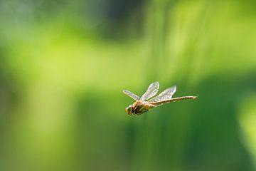Vliegende Libel sur Dennis van de Water