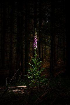 Blühende Fingerhut Purpurea Blume in einem dunklen Wald von Fotografiecor .nl