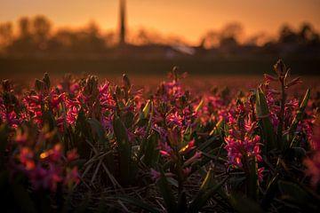 hyacinten bij tegenlicht van Peter Heins