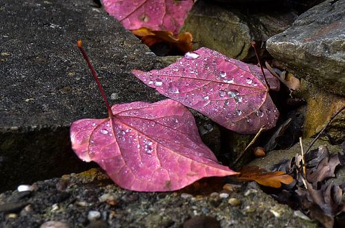 Paarse bladeren
