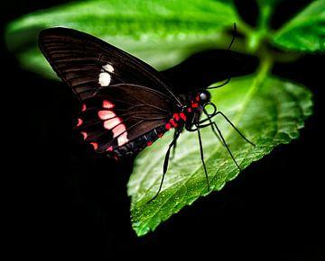 Tropischer Schmetterling von Anouschka Hendriks