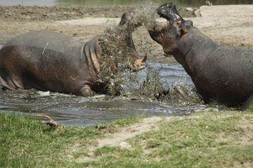 kämpfende Nilpferde von Laurence Van Hoeck