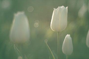 Weiße Tulpen im weichen Morgenlicht von Harmen Mol