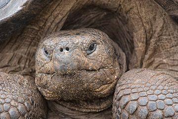 Portrait einer Riesenschildkröte von Angelika Stern
