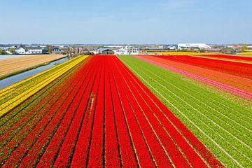 Luftaufnahme von Blumenzwiebelfeldern bei Lisse in den Niederlanden von Nisangha Masselink