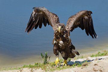 Europese zeearend met uitslaande vleugels aan het water