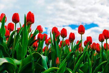 Tulpen in het Oldambt