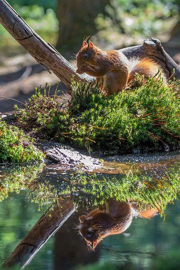 Eekhoorn aan de waterkant.