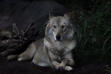 directe strenge blik van een strenge vrouwelijke wolf zittend in het midden van het frame, symmetris van Michael Semenov