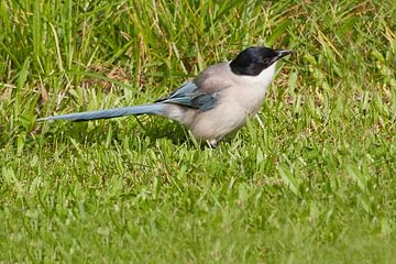 Blaue Elster : Tierpark Blijdorp : Blijdorp von Loek Lobel