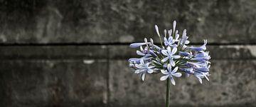 Agapanthus  van Sense Photography