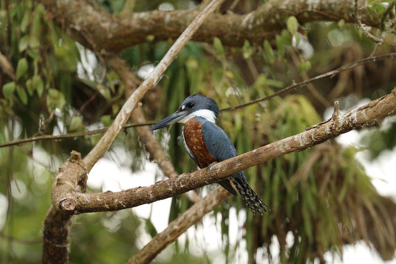 Kingfisher Cano Negro Costa Rica van Ralph van Leuveren