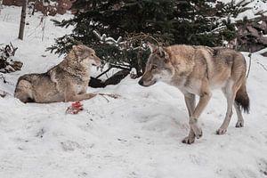 Een vrouwelijke wolf op een achtergrond van sneeuw, kijkt verdacht en knaagt aan vlees, een roofdier van Michael Semenov
