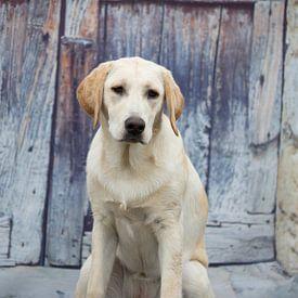 labrador hond van marijke servaes