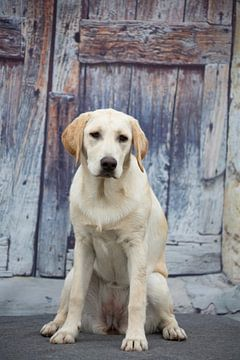 labrador hond von marijke servaes