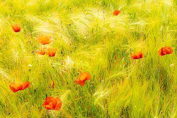 Schönheit Mohnblumen im Kornfeld von Dieter Walther