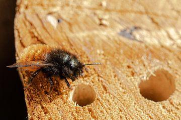 Eine Biene sitzt auf einem Insektenhotel von Nynke Altenburg