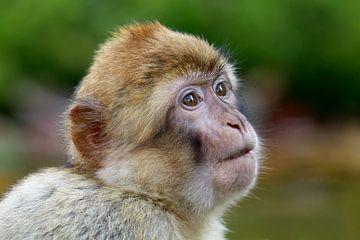 Berber aapje van Edwin Butter
