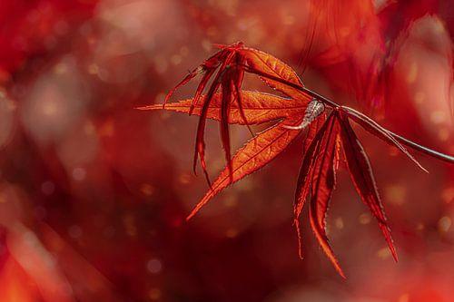 Rode esdoorn