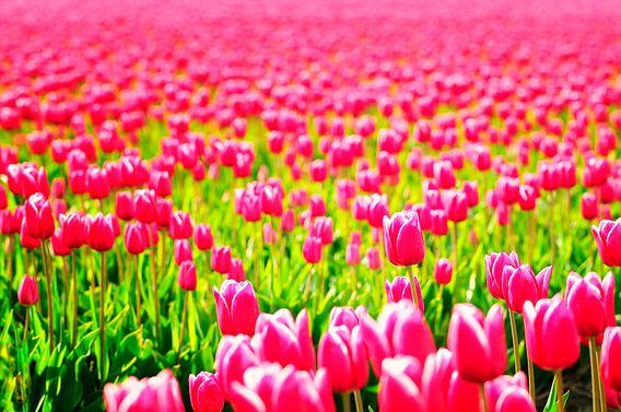 Tulpenveld van Sjoerd van der Wal