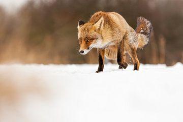 Fox im Angriff von Marcel Derweduwen