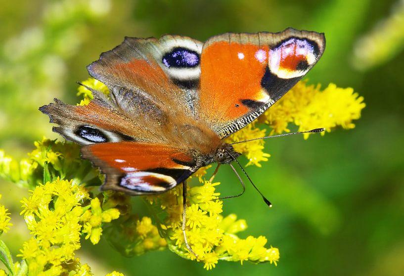 Papillon (Oeil de paon) sur Frank Herrmann