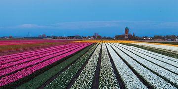 Tulpen bij Oude Tonge von Elly Damen