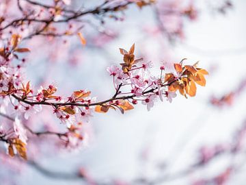 Pink blossom von Patrick Verheij