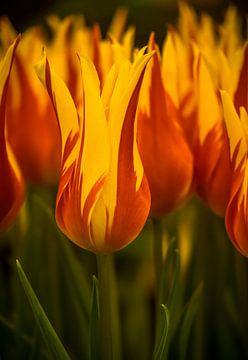 Feurige Tulpe. von Martijn Tilroe