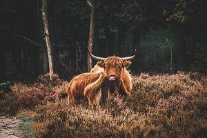 Schotse Hooglander met jong in het Deelerwoud op de Veluwe van Expeditie Aardbol