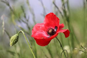 Lady Flower in Red  van Raymond Hofste