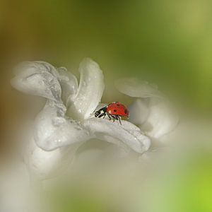Lieveheersbeestje van Ad Spruijt