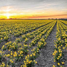 Narcissen op Texel tijdens zonsondergang / Narcissus on Texel during a sunset von Justin Sinner Pictures ( Fotograaf op Texel)