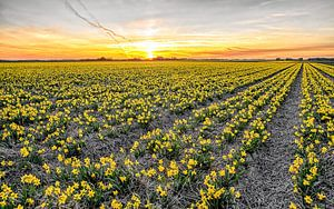 Narcissen op Texel tijdens zonsondergang / Narcissus on Texel during a sunset