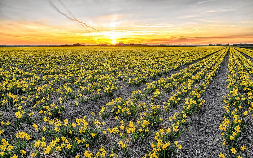 Narcissen op Texel tijdens zonsondergang / Narcissus on Texel during a sunset van Justin Sinner Pictures ( Fotograaf op Texel)