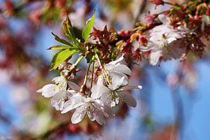 springtime! ... under the cherry tree 03