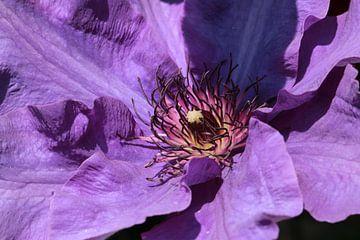 Das Herz einer Purpur-Klematis von Bärbel Severens