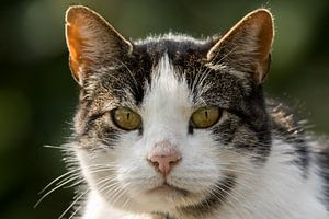 Katzenporträt (Nahaufnahme) von Cees van Vliet