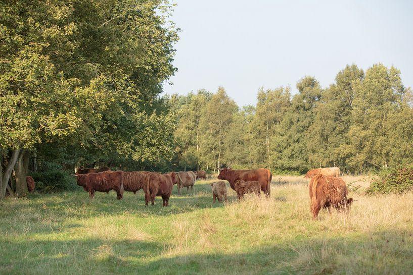 Een kudde Schotse Hooglanders met kalveren van Henk van den Brink