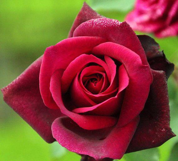 """Roos """"Gräfin Diana"""" in bloei in donker rode kleur in close-up van André Muller"""