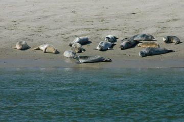 Zeehonden op de Waddenzee. van Brian Morgan