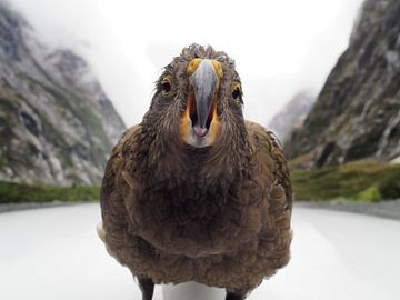 Kea - Nieuw Zeeland van Justin van Schaick