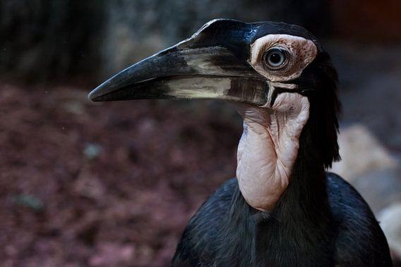 Een slimme en sluwe vogel met een grote snavel is een close-up kafferhoornraaf. Afrikaanse vogel met