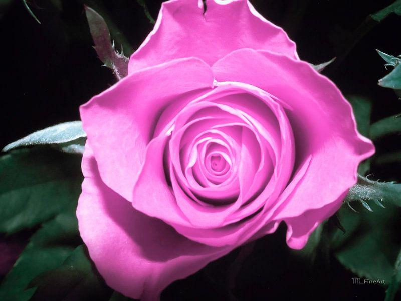 Roos - violet/roze