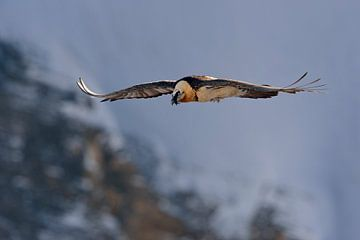 Bearded Vulture *Gypaetus barbatus  van