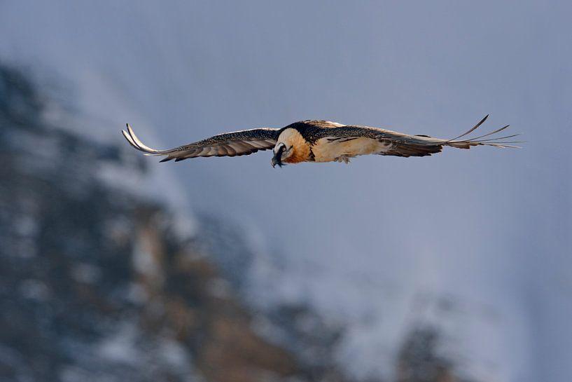 Bearded Vulture *Gypaetus barbatus  van wunderbare Erde