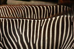 Zebra's op de rug