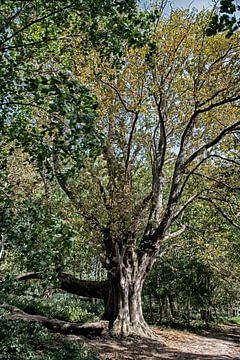 kastanjeboom in het bos van Hanneke Luit